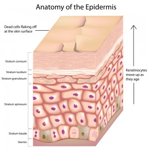 Anatomy of the epidermis